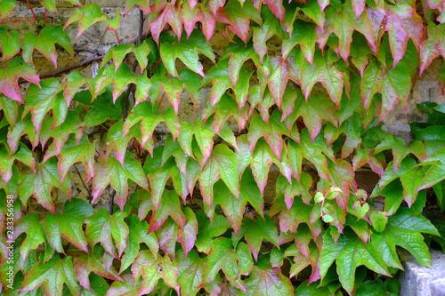 Photographie Rot-grüne Efeublätter bilden ein schönes Muster