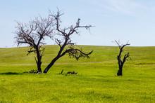 Leafless Springtime Trees Amon...