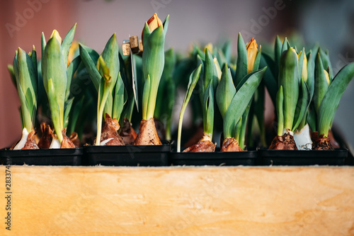 Printed kitchen splashbacks Floral Tulip bulbs sprouted in wooden box flower shop