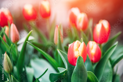 Photo Red yellow tulips in flower market. Natural background