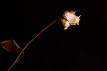 Wilted White Rose On A Dark Background Close Up In Retro Style