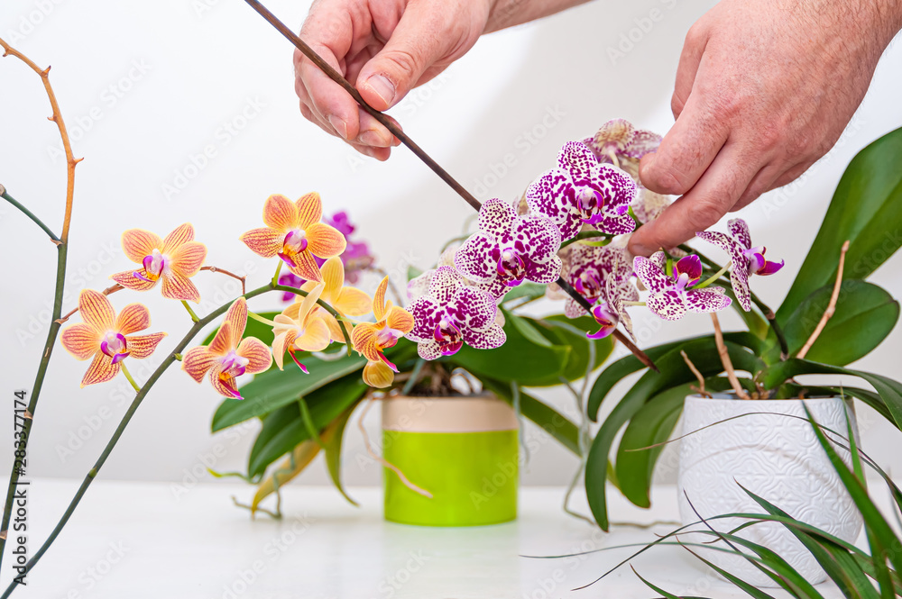 Fototapety, obrazy: Orchids flowers in pot. Care of potted plants at home. Phalaenopsis. Orchidaceae.