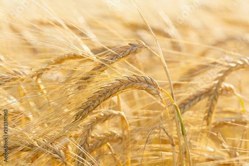 Fotografia Ears of barley in a field. Harvesting period