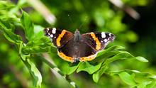 Papillon Aile Ouverte