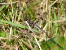 Twelve-spotted Skimmer Dragonfly, Rhode Island, USA