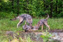 Coyote Watching Over Pups As They Eat