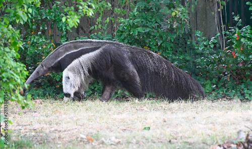 portrait of an anteater walking in searh of ants Fototapete