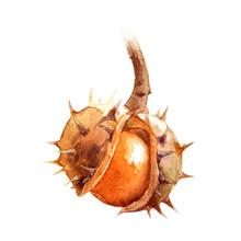 Chestnut Watercolor Illustrati...