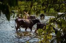 Cows Cross The River Cows Drin...