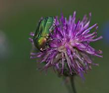 Green Shiny Beetle On Flower