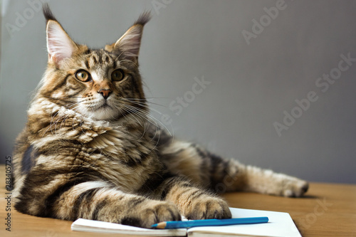 fototapeta na ścianę Close-up portrait of Maine Coon cat lies on a wooden table on an open notebook and blue pencil, selective focus, copyspace