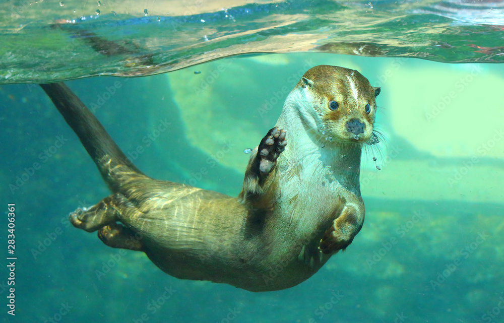 Fototapety, obrazy: The European Otter - Lutra lutra playing and hunting underwater. This animal is dangerous pest for fish farm and aquaculture. Wildlife in National Park Sumava. Czech Republic, Europe.