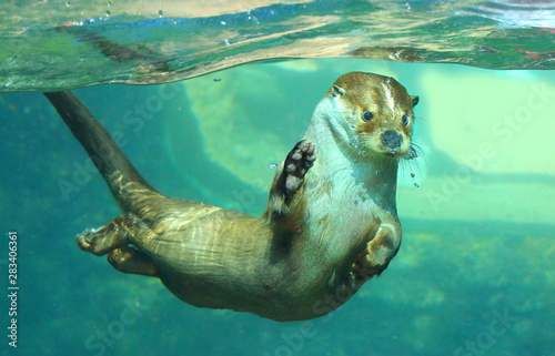 Fototapeta The European Otter - Lutra lutra playing and hunting underwater. This animal is dangerous pest for fish farm and aquaculture. Wildlife in National Park Sumava. Czech Republic, Europe. obraz