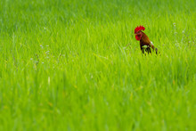 Lost Rooster.