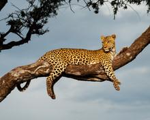 Leopard In Morning Glow