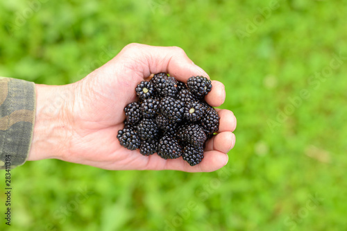Valokuva  A handful of juicy ripe blackberries in hands