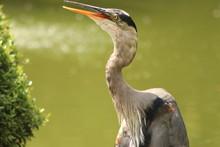 Great Blue Heron Beak Open
