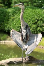 Great Blue Heron Showing Off