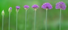 Progression Of Allium Flowers ...