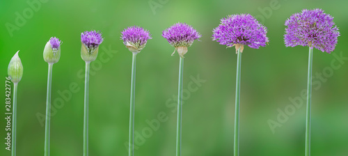 Progression of allium flowers from bud to maturity Wallpaper Mural