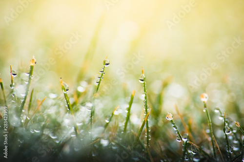 green grass with dew drops in spring, macro nature background Wallpaper Mural