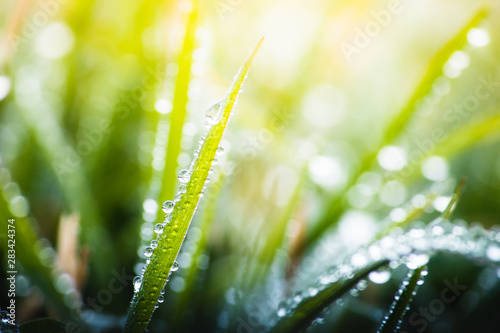 Obraz green grass with dew drops in spring, macro nature background - fototapety do salonu