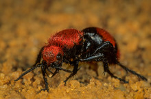 """Female Cow-killer Velvet """"ant"""" (Dasymutilla Occidentalis) On The Prowl. Eggs In Nest Of Bees; Larvae Hatch And Feed On Larval Bees. """"Cow-killer"""" Name Comes From Reputation For Painful Sting."""