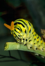 """Eastern Black Swallowtail Caterpillar (Papilo Polyxenes) In Defensive Posture With """"horns"""" Partly Extended. Horns Give Off Offensive Odor, Providing Defense Against N Photo Showing Full Extension.)"""