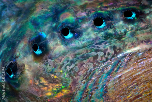 Photo Close view of inside surface of abalone shell (Haliotis sp