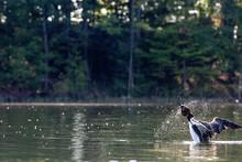 My Pearl Lake Loon