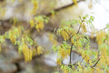 Green And Yellow Oak Tree Leaves With Tassels Catkins Flowers In Early Spring And Bokeh Background In Virginia