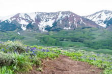 Many Delphinium Nuttallianum Larkspur Flowers Along Road On Crested Butte, Colorado Snodgrass Hiking Trail In Summer With Snow Mountain In Background