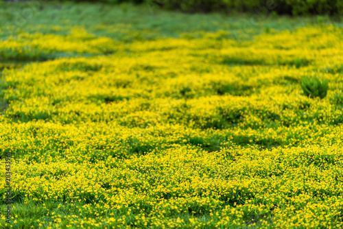 Colorful vivid color in field meadow of buttercup yellow flowers in Crested Butte, Colorado Snodgrass trail in summer in Rocky Mountains
