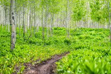 Snodgrass Trail Footpath In Mount Crested Butte, Colorado In National Forest Park Mountains With Green Aspen Trees Forest In Summer