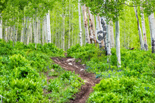 Snodgrass Trail Steep Footpath Up In Mount Crested Butte, Colorado In National Forest Park Mountains With Green Aspen Trees Forest In Summer