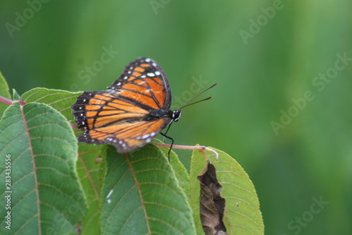 Monarch Butterfly tentacles up 2019