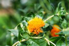 Safflower Flowers In A Field