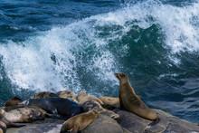 Seals On Rock At La Jolla Cove, San Diego, CA