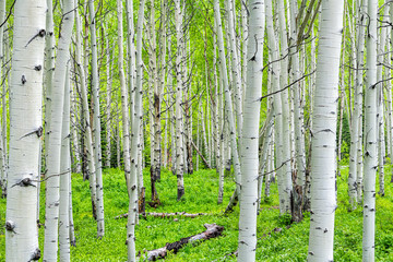 Fototapeta Brzoza Aspen forest trees pattern in summer on Kebler Pass in Colorado in National Forest park mountains with green color