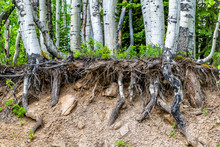 Aspen Forest Tree Roots Uproot...
