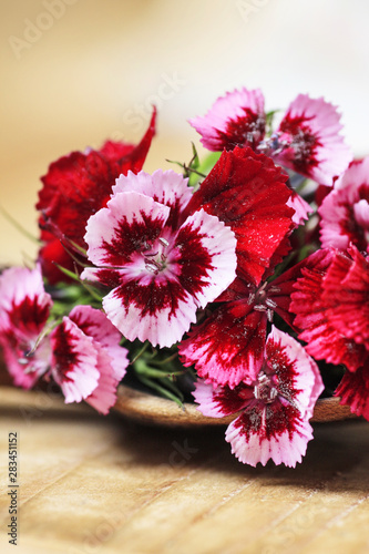 A popular fragrant biennial garden plant, Sweet William or Dianthus barbatus Canvas Print
