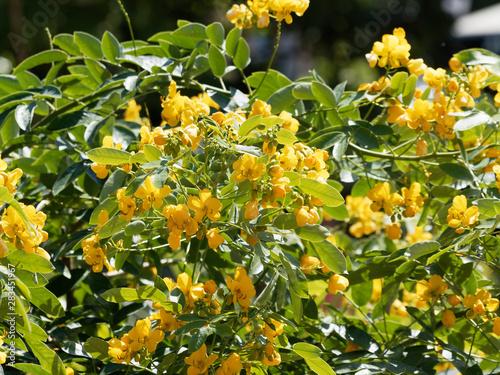 Obraz na plátně Rameaux et fleurs jaune doré de séné d'alexandrie   Senna alexandrina