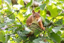 Rot-braunes Eurasisches Eichhörnchen Ist Auf Futtersuche In Einem Haselnussstrauch Und Springt Von Ast Zu Ast Auf Der Jagd Nach Haselnüssen Und Leckeren Eicheln Für Die Anlage Von Winterspeck