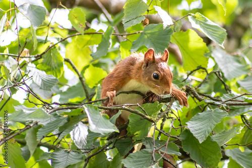 Photo  Rot-braunes Eurasisches Eichhörnchen ist auf Futtersuche in einem Haselnussstrau