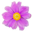 canvas print picture - Beautiful Anemone (Daisy) isolated on white background, including clipping path.