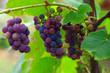 Leinwandbild Motiv growing grapes on the Vine