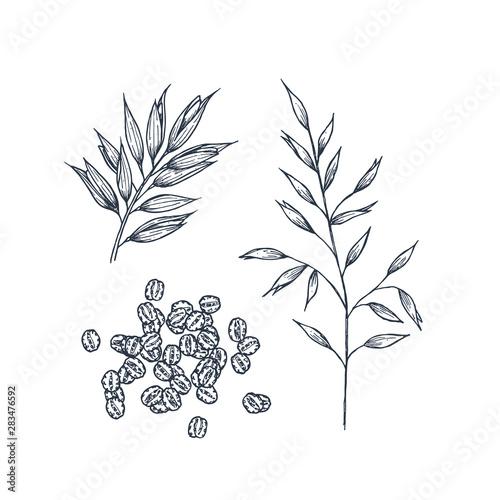 Oats botanical illustration. Engraved style. Vector illustration Fototapeta
