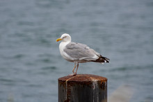 Seagull With Broken Foot Is Standing On A Metal Pier