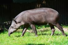 A Tapir Walks In A Prairie