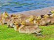 canvas print picture Goslings  on green grass